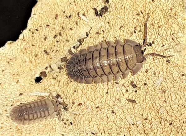 Rough Backed Roly-Poly Isopod