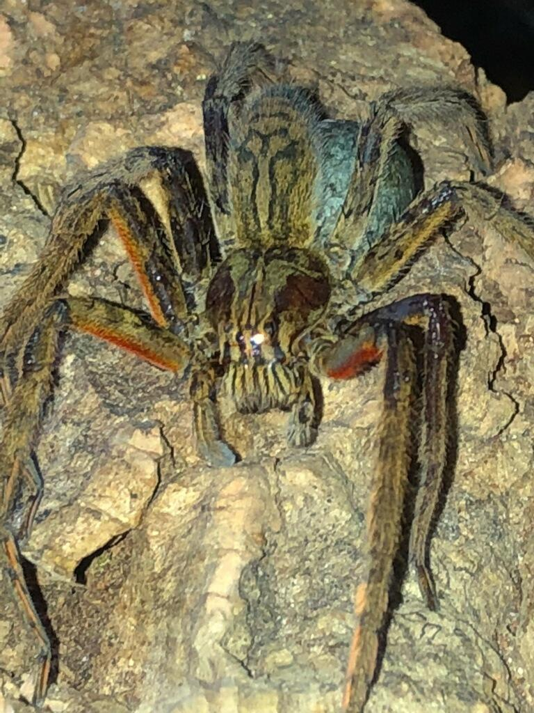 Red-legged Wandering Spider