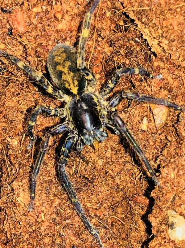 Black and Gold Wandering Spider