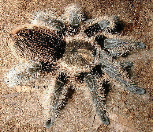 Tarantula Price List