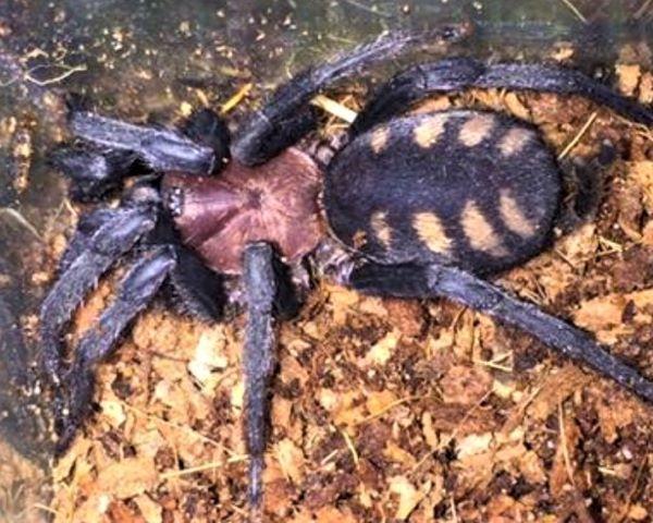 Panamanian Tigerump Funnelweb Spider