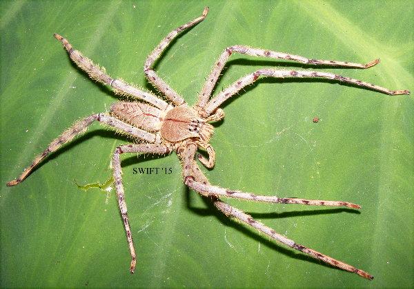 Malaysian Lichen Huntsman Spider