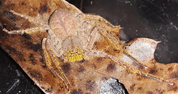 Malaysian Stoney Huntsman Spider