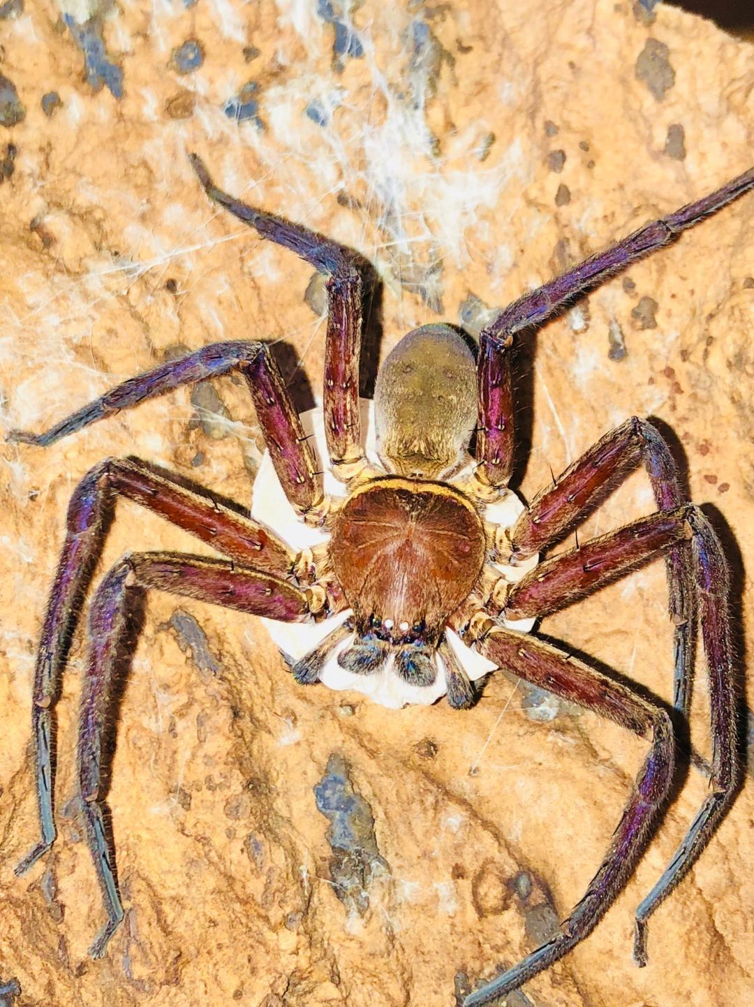 Giant Japanese Huntsman Spider