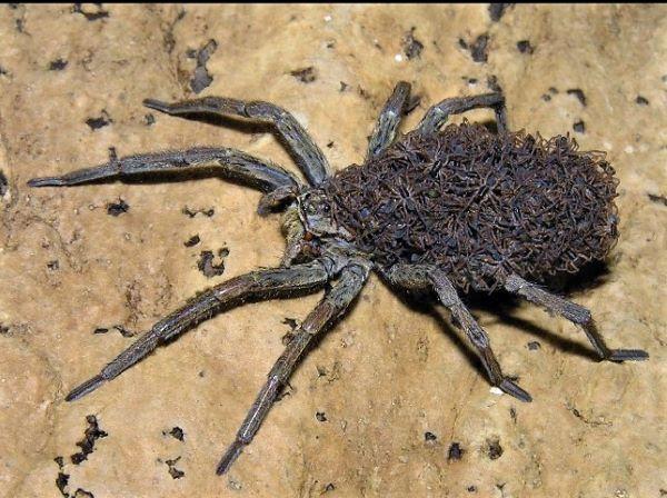 Croatian Wolf Spider