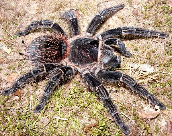 Tarantula Price List - photo#41