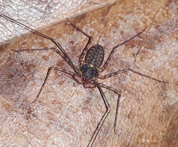 Nicaraguan Tailless Whip Scorpion