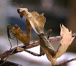 Malaysian Giant Dead Leaf Mantis