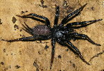 Taiwanese Black Funnel Web Spider
