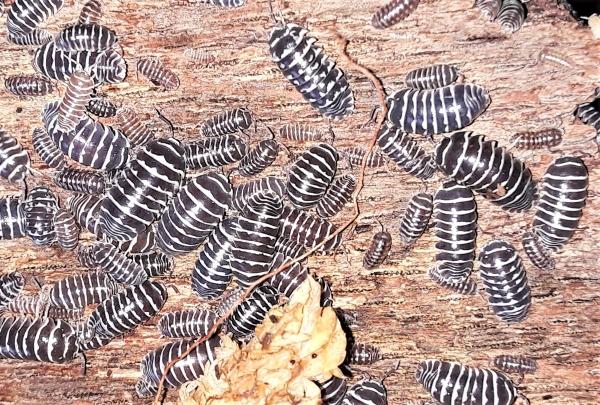 Zebra Roly-Poly